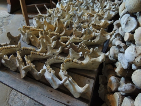 Skeletal jaw bones arranged in rows